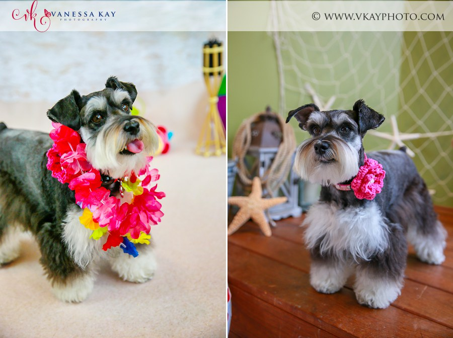 Miniature Schnauzer Luau  beach photos Orange county