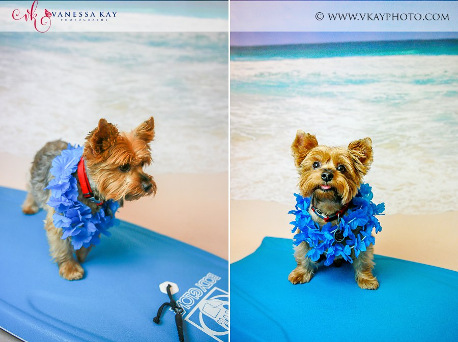 Yorkshire terrier pet beach photos Newport Beach