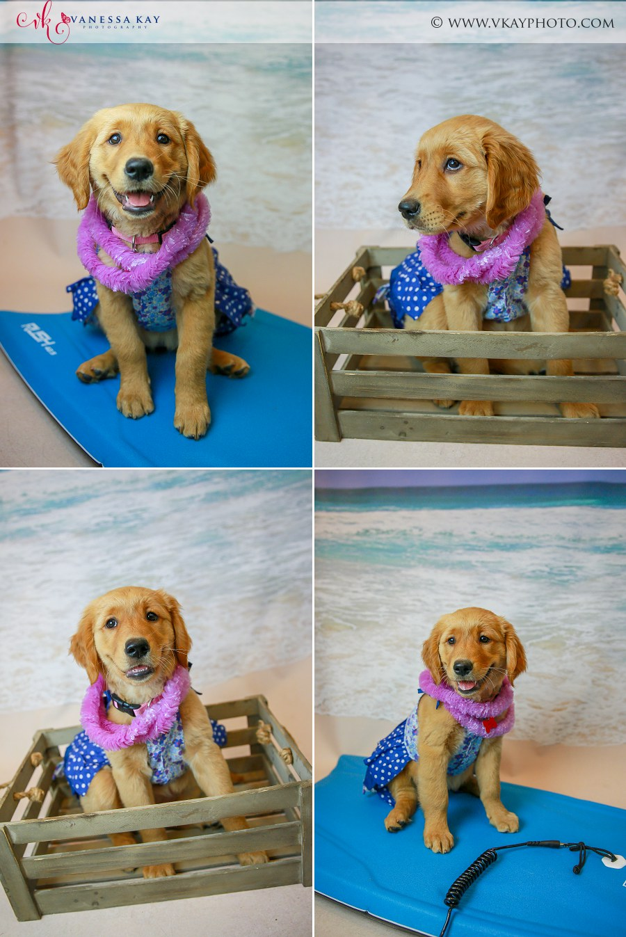 Golden Retriever at the beach pet photos