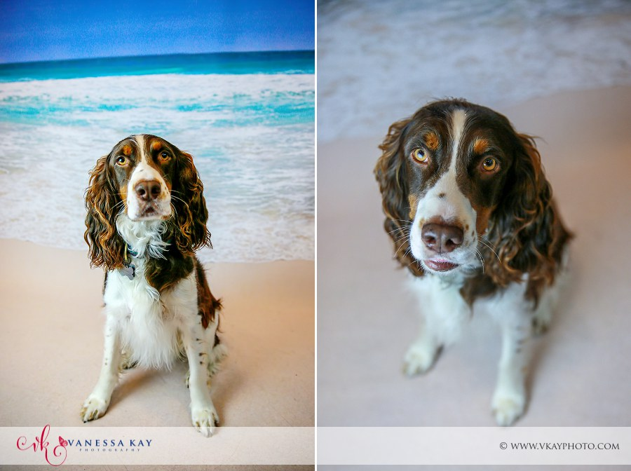 English Springer Spaniel Newport Beach portraits