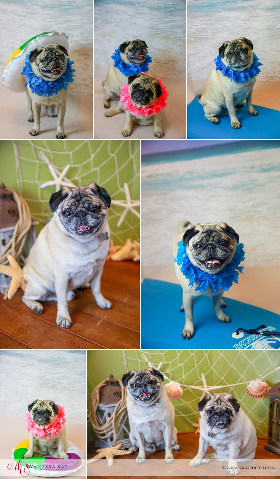 Pug pet Newport Beach Portraits