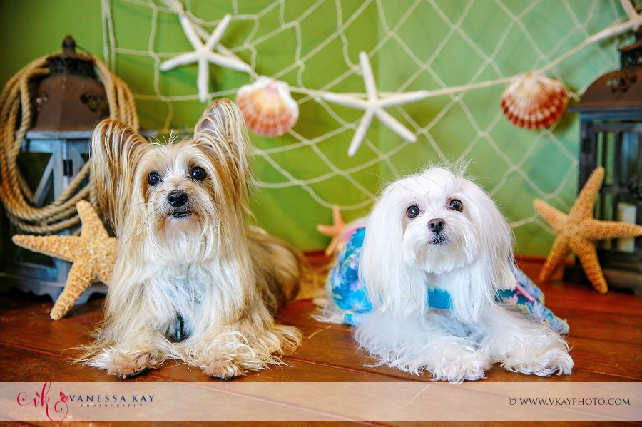 Morkie and Maltese pet portraits