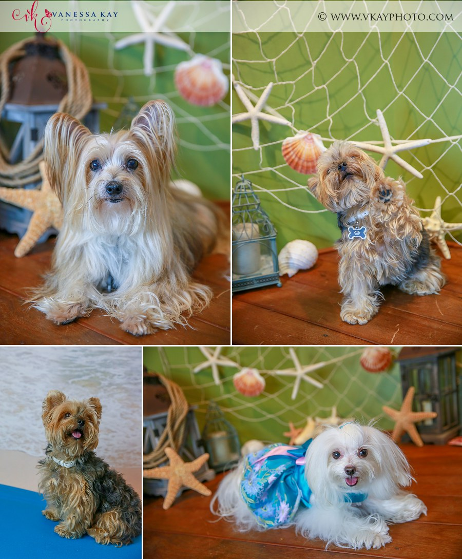 Morkie and Maltese pet portraits Beach theme