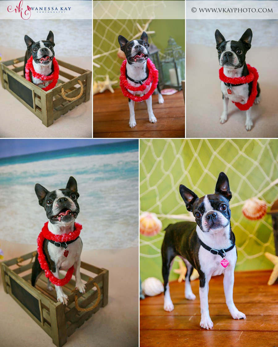 Boston Terrier Newport Beach photos pet portraits