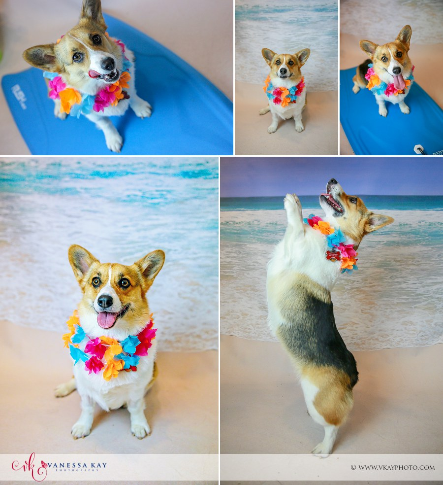 Corgi photos on the Beach Orange county