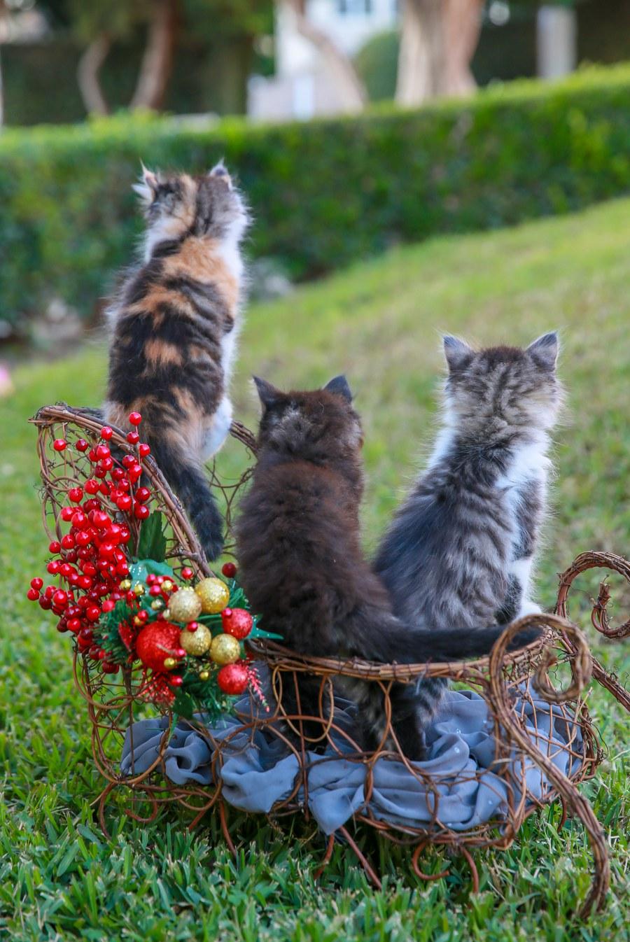 Cali kitten 10