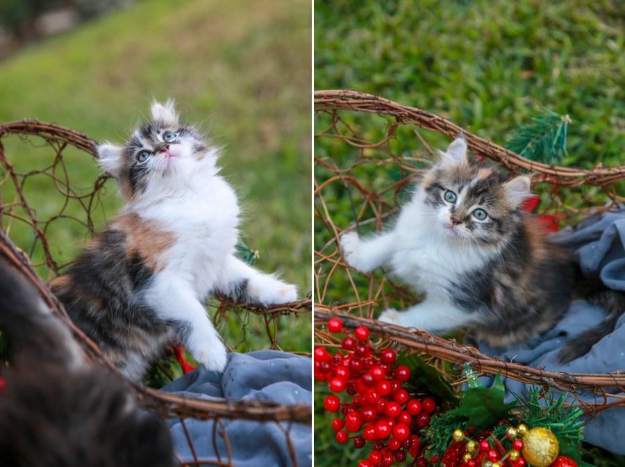 Cali kitten 11