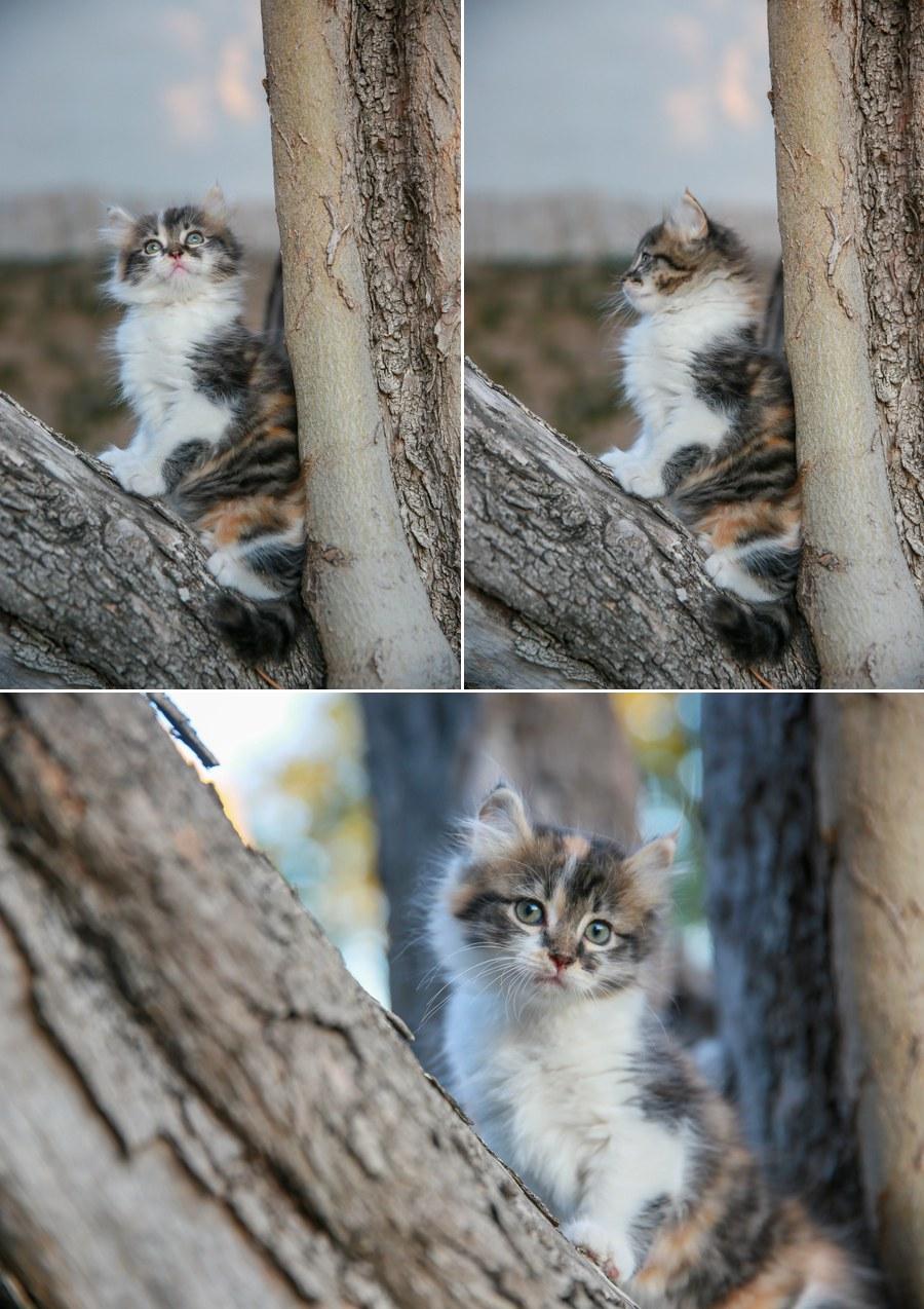 Cali kitten 12