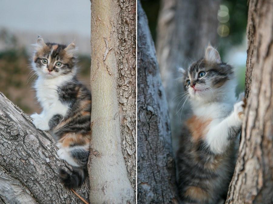 Cali kitten 13