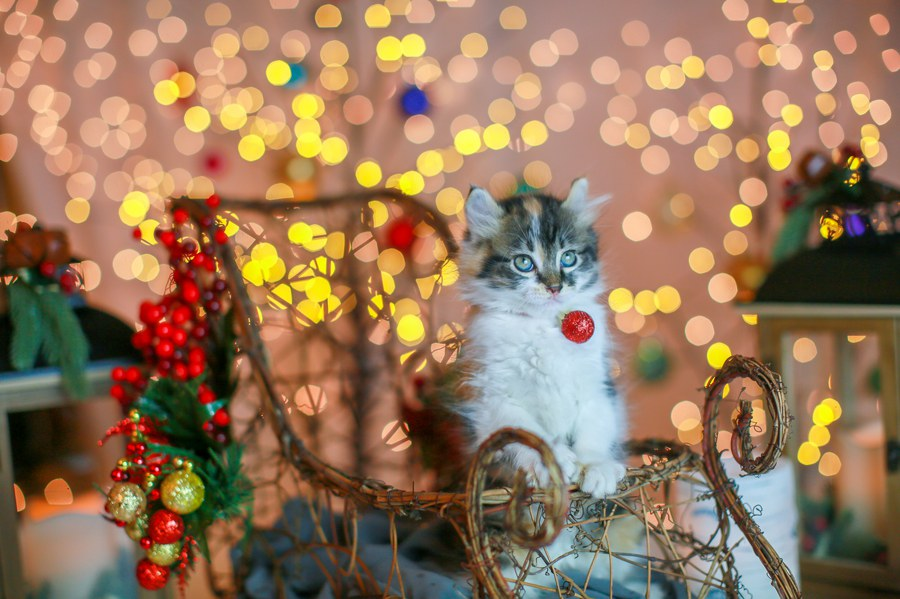 Cali kitten 15