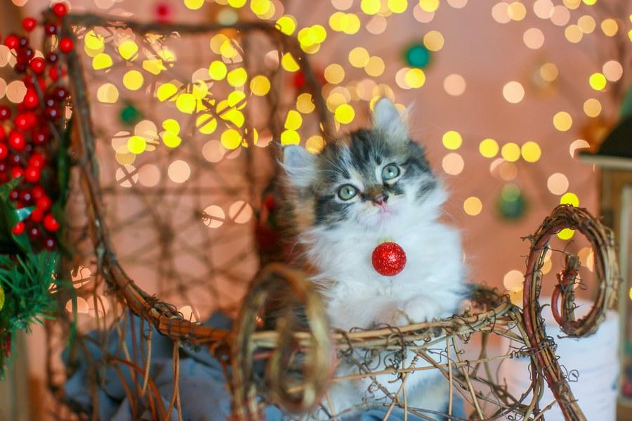 Cali kitten 17