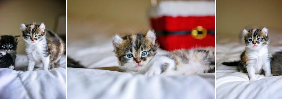 Cali kitten 3