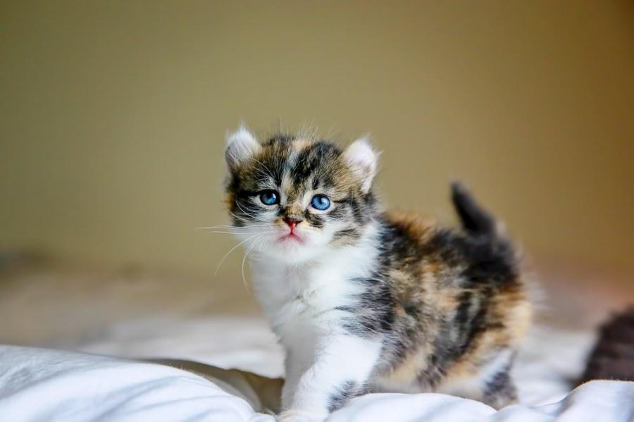 Cali kitten 4