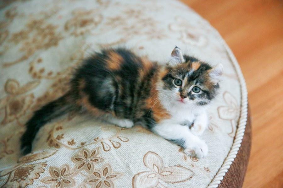 Cali kitten 6