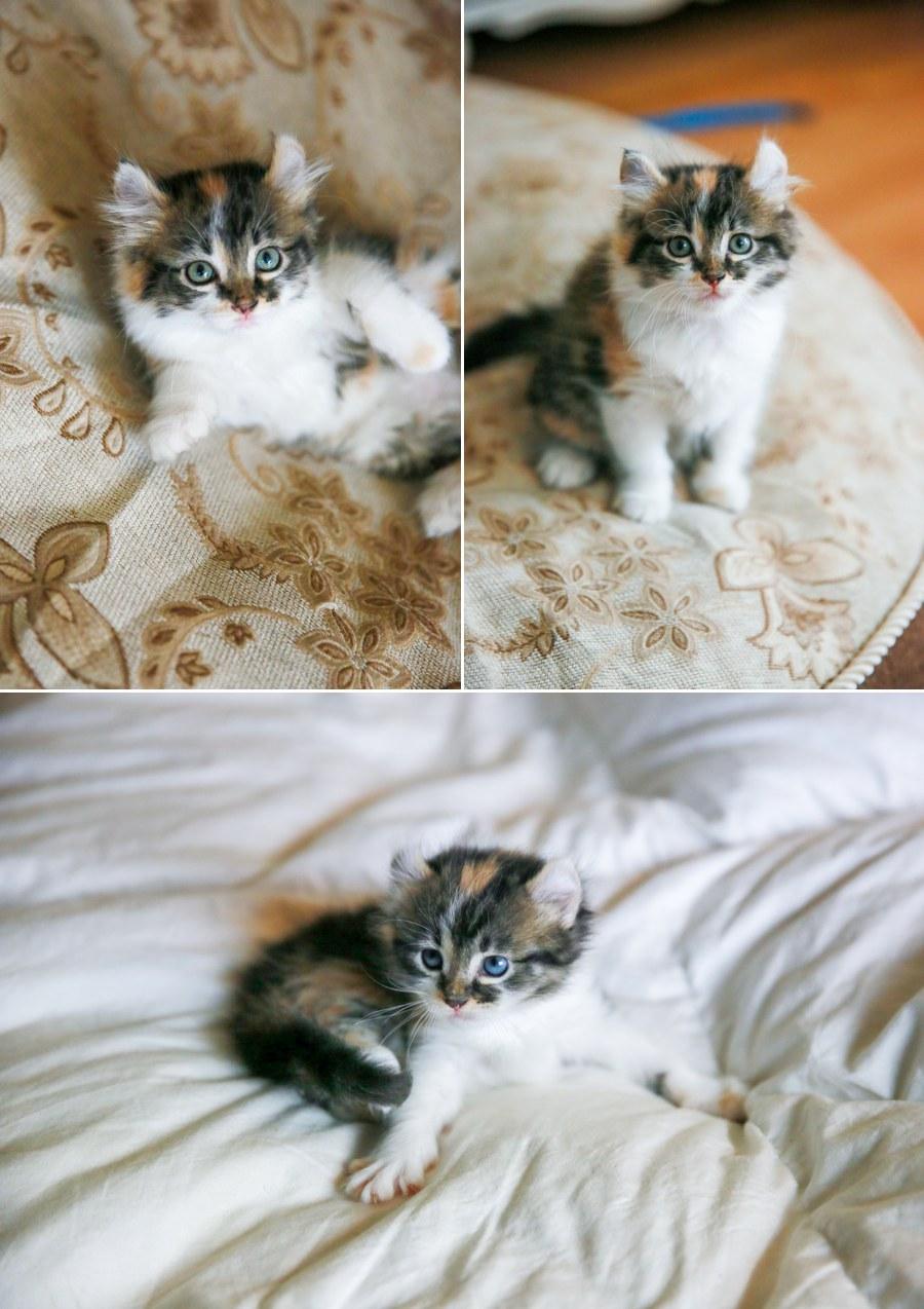 Cali kitten 7