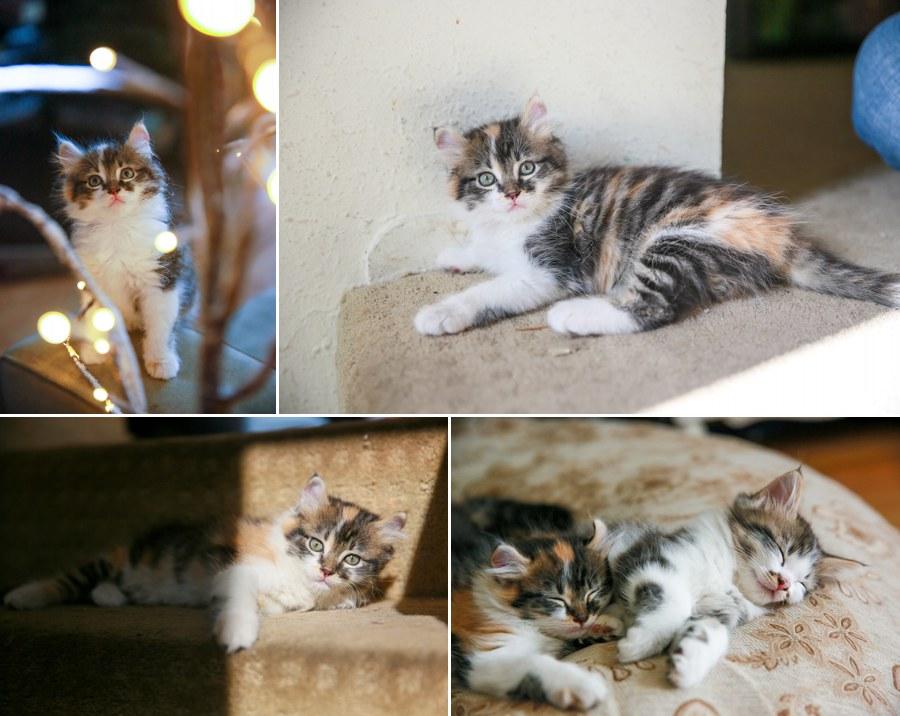 Cali kitten 8