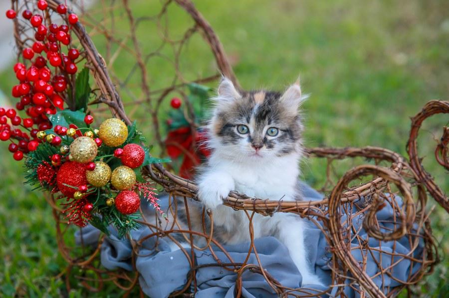 Cali kitten 9
