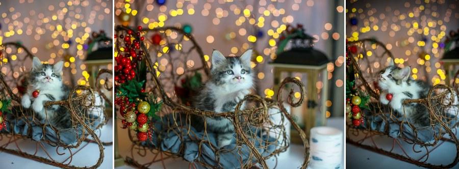 Charlie Kitten 19