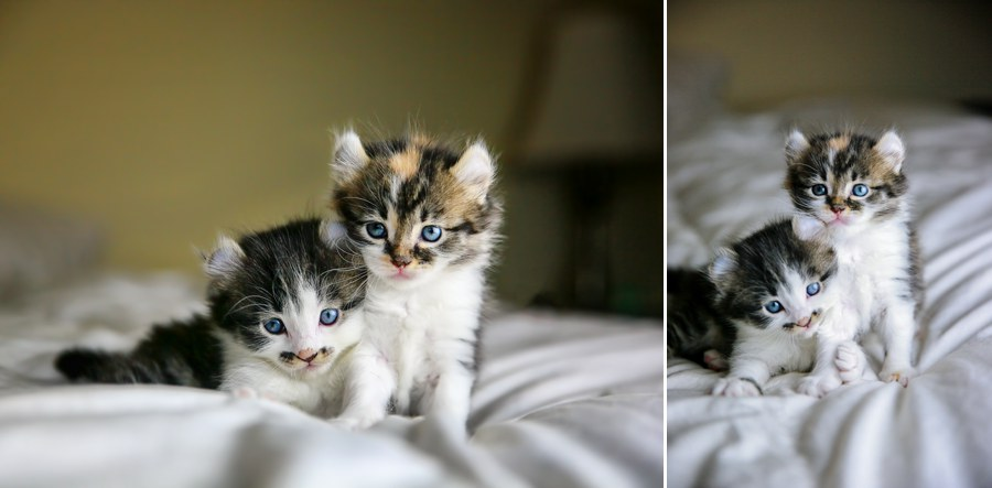 Callie and Romeo, our two curly eared kittens.