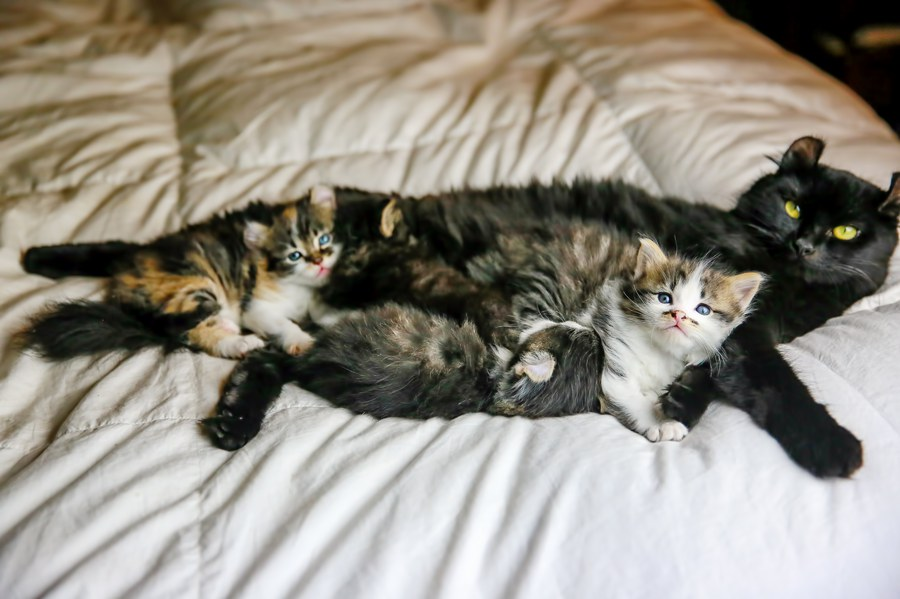 Highland Lynx and Maine Coon Cross kittens 9