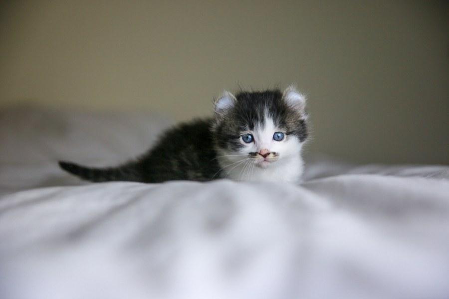 Romeo kitten 1