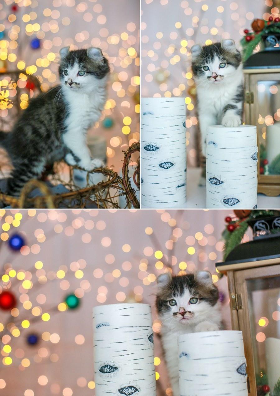 Romeo kitten 12