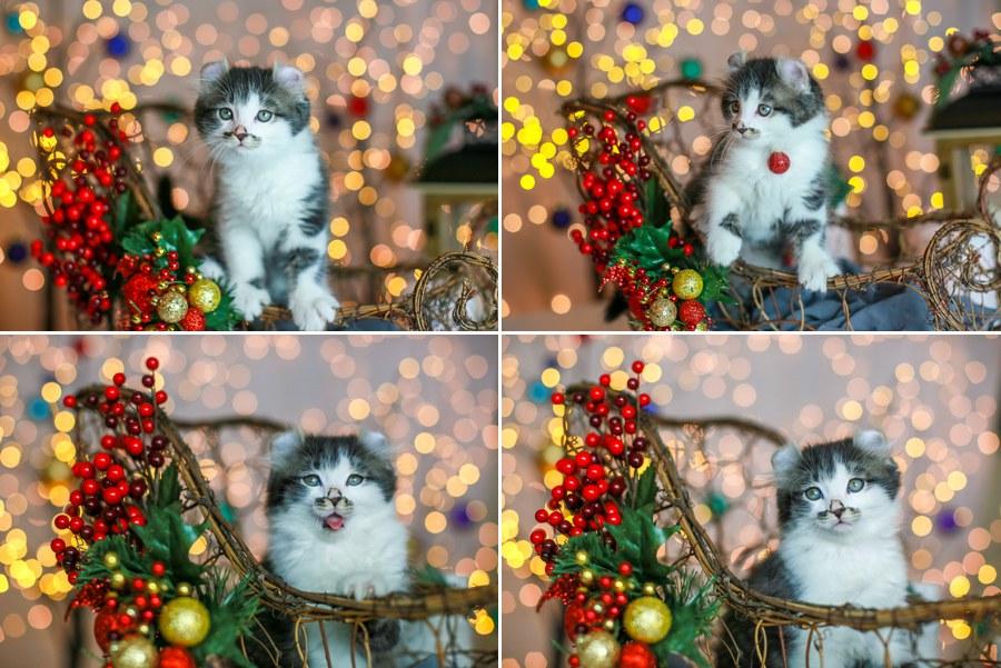 Romeo kitten 8